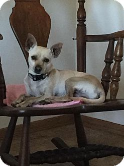 Chihuahua Mix Dog for adoption in Lodi, California - Bob