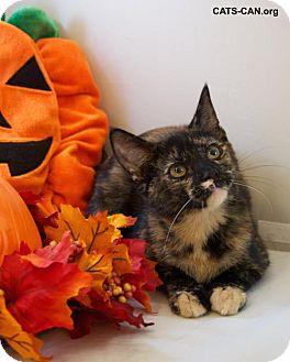 Domestic Shorthair Cat for adoption in Oviedo, Florida - Heidi