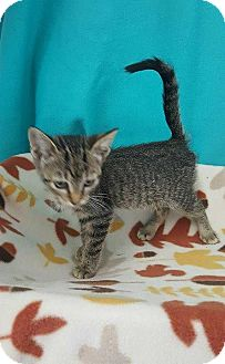 Domestic Shorthair Cat for adoption in Mt. Vernon, Illinois - Cocoapuff