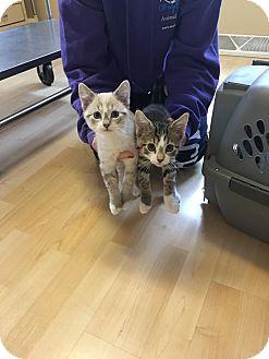 Domestic Shorthair Kitten for adoption in Romeoville, Illinois - Oakley