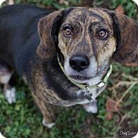 Basset Hound/Plott Hound Mix Dog for adoption in Salt Lake City, Utah - Ava