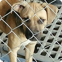 Adopt A Pet :: Jill-Ann - Trenton, NJ