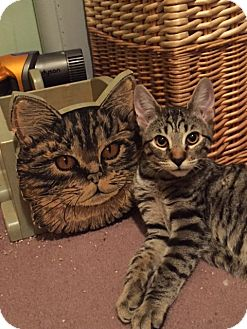 Domestic Shorthair Kitten for adoption in Little Falls, New Jersey - Bolt (LE)