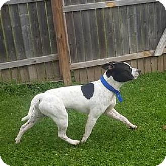 American Pit Bull Terrier/Terrier (Unknown Type, Medium) Mix Dog for adoption in Janesville, Wisconsin - Kaiser
