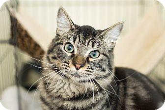 Domestic Mediumhair Kitten for adoption in Los Angeles, California - Boo Boo