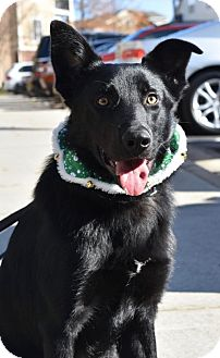 German Shepherd Dog Puppy for adoption in Greensboro, North Carolina - Sully