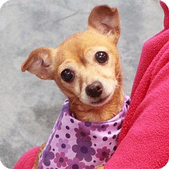 Chihuahua Dog for adoption in Garfield Heights, Ohio - Karlie