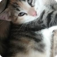 Adopt A Pet :: Noel - wyoming valley, PA
