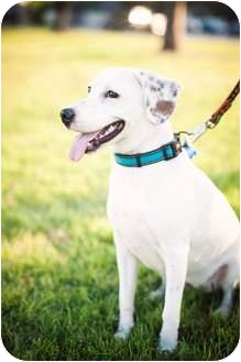 Beagle/Labrador Retriever Mix Dog for adoption in Houston, Texas - ROSEMARY