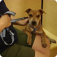 Adopt A Pet :: lucy - Tonopah, AZ