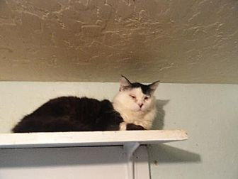Domestic Mediumhair Cat for adoption in Coos Bay, Oregon - Love Bug