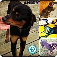 Adopt A Pet :: Amber - Kimberton, PA