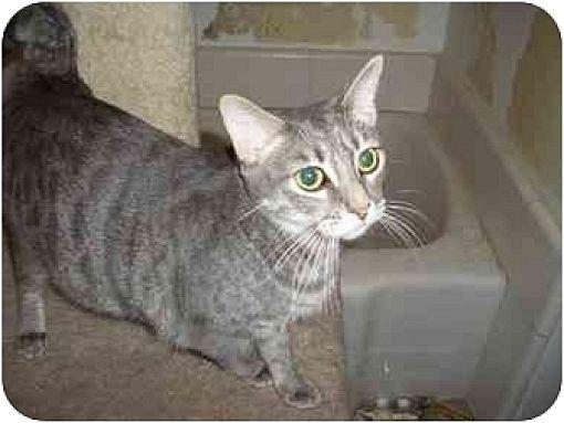 Domestic Shorthair Cat for adoption in Hesperia, California - Joy