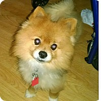 Adopt A Pet :: Acorn - conroe, TX