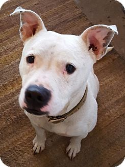 American Staffordshire Terrier/American Bulldog Mix Dog for adoption in nashville, Tennessee - Wilbur Charles
