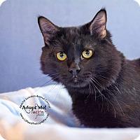Adopt A Pet :: Shadow - Apache Junction, AZ