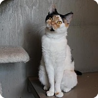 Domestic Shorthair Cat for adoption in Lathrop, California - Clarabell