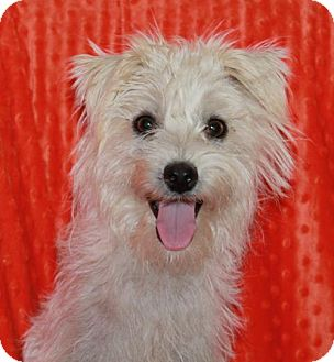 Terrier (Unknown Type, Medium)/Poodle (Miniature) Mix Dog for adoption in Phelan, California - Stitch