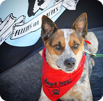 Australian Cattle Dog Dog for adoption in Redondo Beach, California - Dingo-ADOPT Me!
