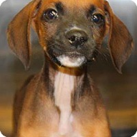 Boxer/Beagle Mix Puppy for adoption in New York, New York - Hershey