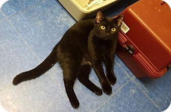 Domestic Shorthair Cat for adoption in Bridgewater, New Jersey - Liam