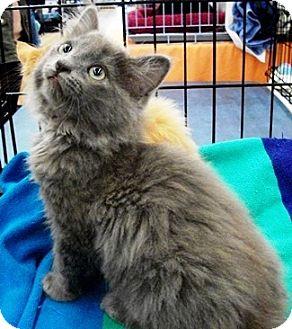 Domestic Shorthair Kitten for adoption in Castro Valley, California - Sheldon