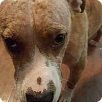 Pit Bull Terrier Mix Dog for adoption in Springfield, Missouri - Maggie Mae