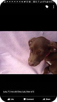 Labrador Retriever Mix Puppy for adoption in Mesa, Arizona - Lulu