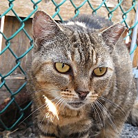 Domestic Shorthair Cat for adoption in Carmel, New York - Cringle