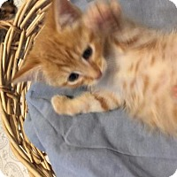 Domestic Shorthair Kitten for adoption in Pompano beach, Florida - Zuma