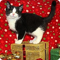 Adopt A Pet :: Scampi - Mt. Prospect, IL