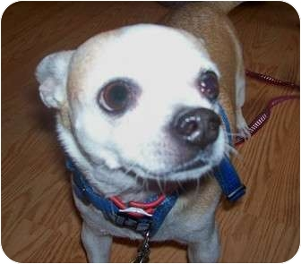 Chihuahua Dog for adoption in Jacksonville, Florida - Tiny