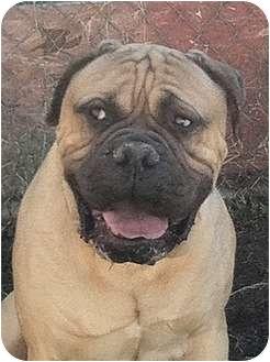 Bullmastiff Dog for adoption in Phoenix, Arizona - EBear