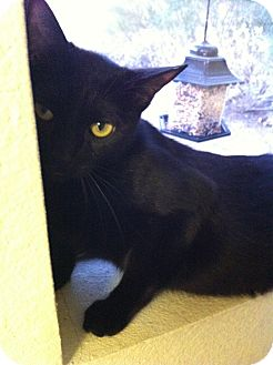 Domestic Shorthair Cat for adoption in Phoenix, Arizona - Noire