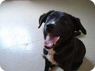 Border Collie/Labrador Retriever Mix Dog for adoption in Beaver, Utah - Molly