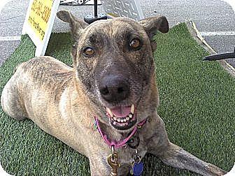 Rhodesian Ridgeback/Siberian Husky Mix Dog for adoption in Bergheim, Texas - Kiley