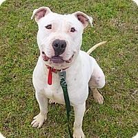 American Pit Bull Terrier Puppy for adoption in Katy, Texas - DeeDee
