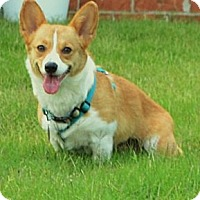 Adopt A Pet :: Rosie - PENDING - Westport, CT