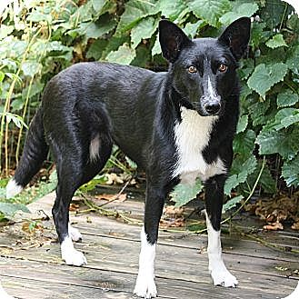Border Collie Mix Dog for adoption in Columbia, Illinois - Shadow