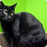 Domestic Shorthair Cat for adoption in Jupiter, Florida - Abbi