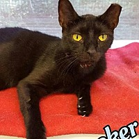 Domestic Shorthair Cat for adoption in Huntington, New York - Knickerbocker