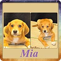 Adopt A Pet :: Mia- meet me 11/20 - East Hartford, CT