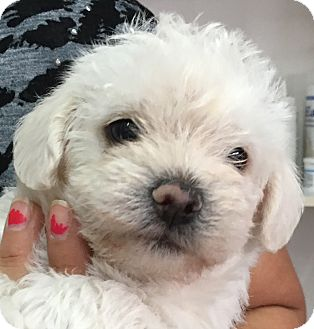 Maltipoo Puppies Adopted Puppy San Marcos Ca Yorkie Yorkshire Terrier Poodle Toy Or Tea