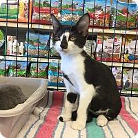 Adopt A Pet :: Taz - Gilbert, AZ
