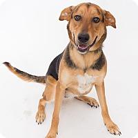 German Shepherd Dog/Labrador Retriever Mix Dog for adoption in Jupiter, Florida - Chloe 2