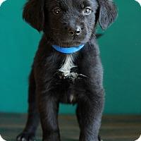 Adopt A Pet :: Patrick - Waldorf, MD