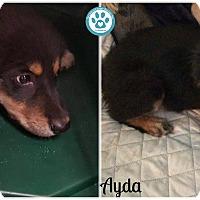 Adopt A Pet :: Ayda - Kimberton, PA