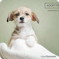 Adopt A Pet :: Duke - Chandler, AZ
