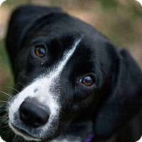Adopt A Pet :: Pearl - Manhattan, KS