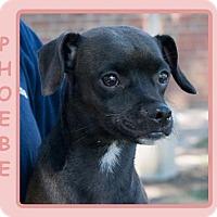 Adopt A Pet :: PHOEBE - Dallas, NC